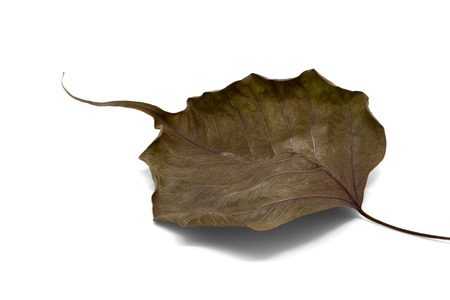 leaf vein: Dry bodhi leaf vein Isolated on white background Stock Photo