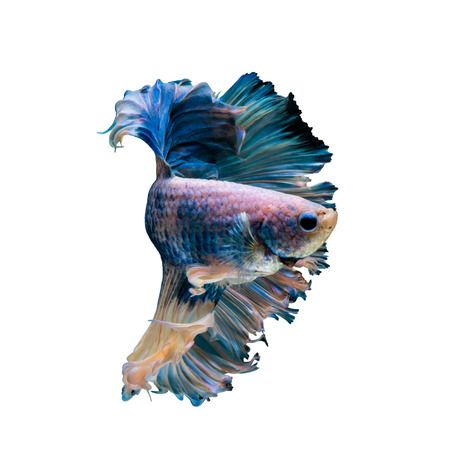blue fish: Halfmoon Blue gragon fish, siamese fighting fish on white background Stock Photo