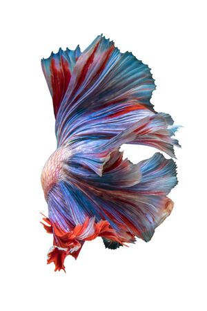 fish tail: Double Tail Betta fish, siamese fighting fish on white background