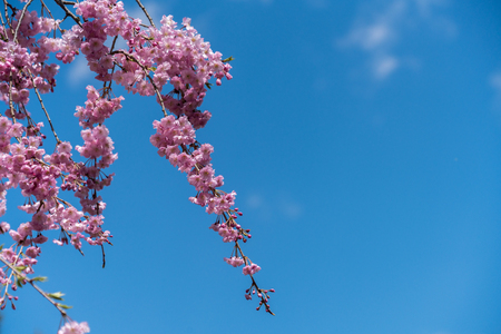The cherry blossom branch extending to the left of the picture with the blue sky as a backdrop, beatiful naturally for background Reklamní fotografie