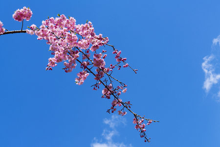 The Sakura branch extending to the left of the picture with the blue sky as a backdrop, beatiful naturally with cherry blossom for background