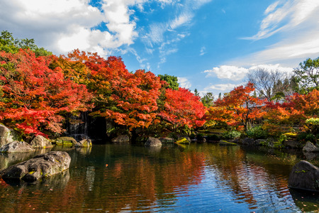 Beautiful landscape in Japanese garden, have many Koi fish swimming in pond and red maple trees around, cloud on blue sky in autumn season