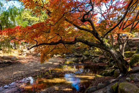 The beautiful landscape with the orange maple tree and reflection in a small puddle