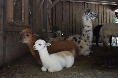 Alpaca family with baby and a llama at Animal Park Bretten, Germany