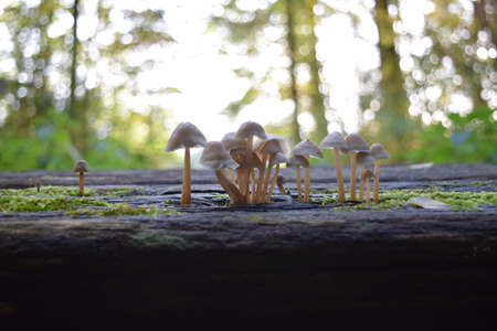 small brown mushrooms that grow in the forest on a damaged wooden bench in autumn, Stuttgart, Germany Stock Photo