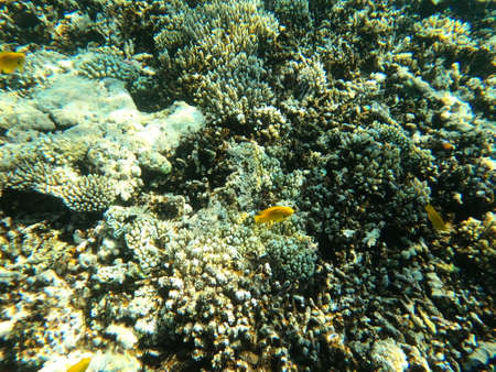 Reef with lots of colorful corals and lots of fish in clear blue water in the Red Sea near Hurgharda, Egypt Foto de archivo