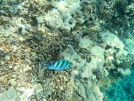 Reef with lots of colorful corals and many fishes, zebrafishes in the clear blue water of the Red Sea near Hurgharda, Egypt Banco de Imagens