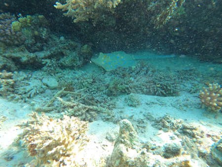 Reef with lots of colorful corals and many fishes, Taeniura lymna, Blue-spotted stingray, Ribbontail stingray in the clear blue water of the Red Sea near Hurgharda, Egypt Banco de Imagens - 153130757
