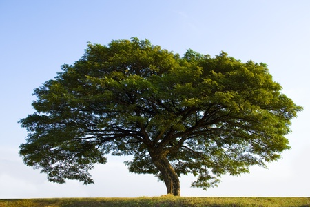 protected tree: Big tree still with green leaves in the fall in a winter crops field. Stock Photo