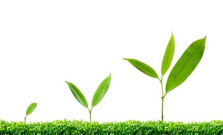 evergreen branch: los diferentes pasos de un �rbol que crece