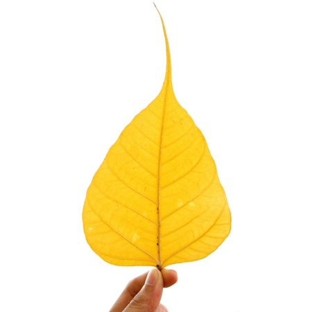 yellow bodhi leaf vein on white background
