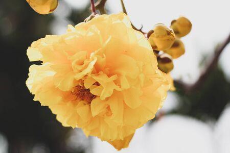Cochlospermum regium blossom with color is yellow.