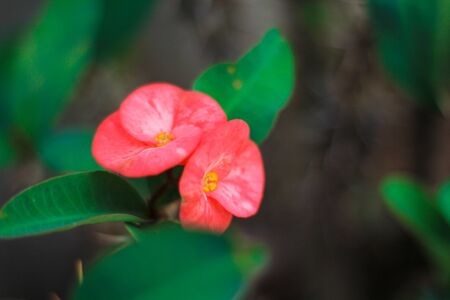 Euphorbia milli flower with color is Bright red.