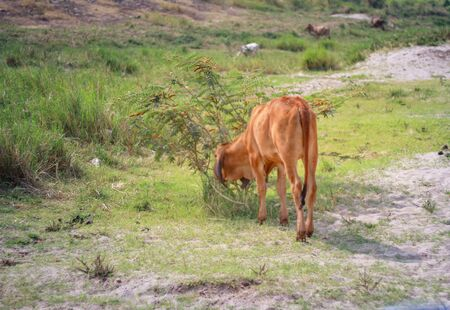 A cow grazing on the ground.
