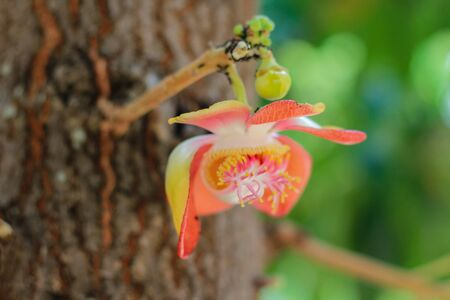 Close up flower Cannonball tree.