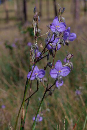 Murdannia giganteum ( Vahl. ) Br. Is a flower that is bright purple.