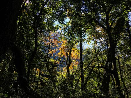 Picture of maple tree Changing colors in the middle of the forest at Phu Soi Dao National Park. Фото со стока