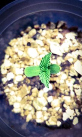 seeding: Cannabis hybrid seeding germination on soil in pot. Stock Photo