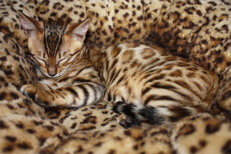 cute little bengal cat sleeps in the cat basket photo