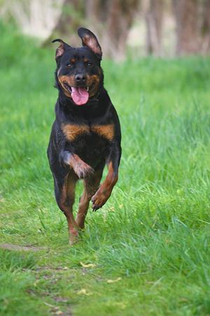 Rottweiler runs across a meadow Stock Photo