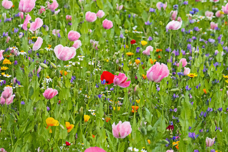 Opium poppies in a blooming and colorful wildflower field