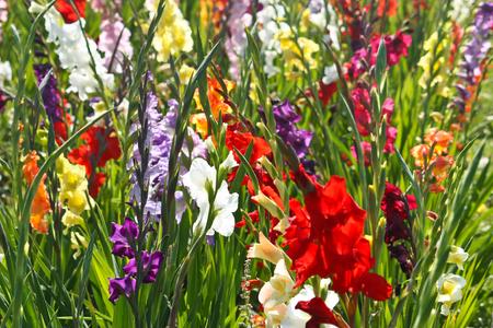 field of colorful gladiolus flowers Standard-Bild