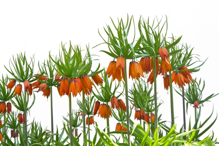 blooming imperial fritillaries isolated on white background Standard-Bild