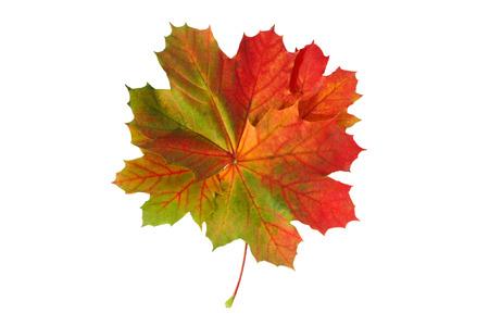 colorful maple leaf isolated on white background Standard-Bild