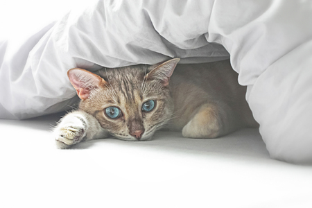 Cute snow Bengal cat under blanket in bed