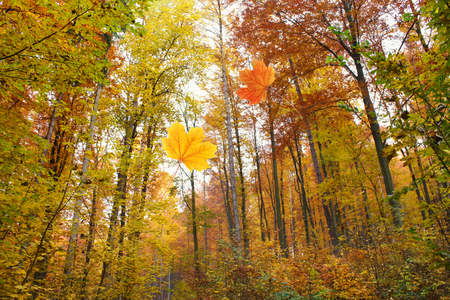 Falling leaves in a colorful forest in autumn Standard-Bild