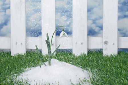 blooming single snowdrop in snow in a garden Standard-Bild