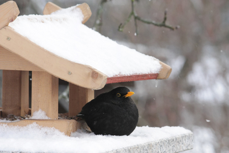 blackbird in snow with bird feeder