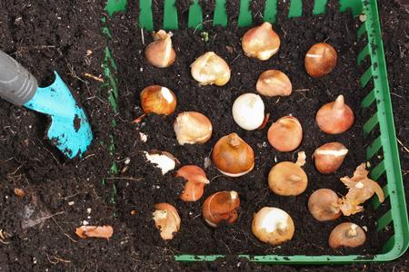 tulip bulbs Zdjęcie Seryjne