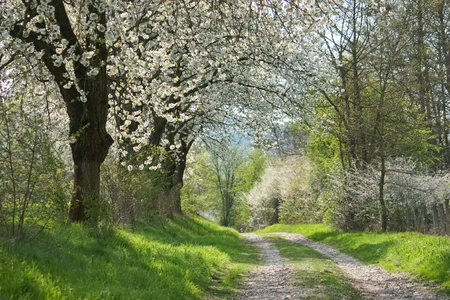 Flowering trees on a way in a spring landscape