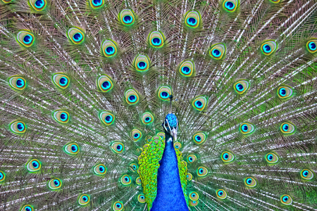 portrait of a peacock with peacock's fan