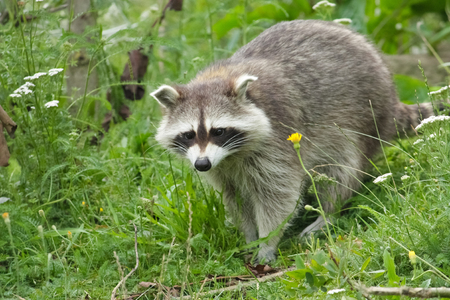 cute raccoon in the grass