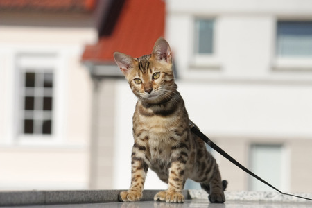 cute young bengal cat on a leash outdoor