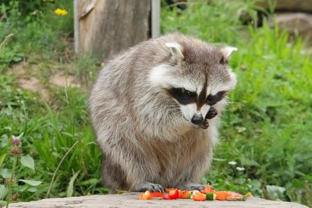 cute raccoon eats vegetables Standard-Bild