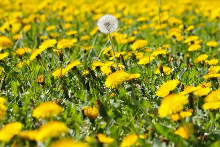 a white dandelion in a flower field of yellow dandelions Standard-Bild
