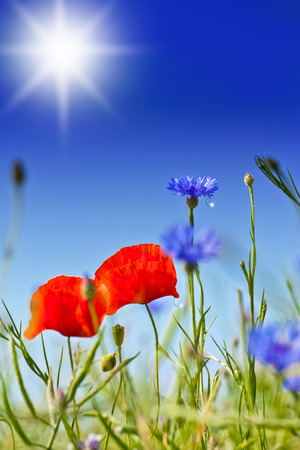 red poppies and cornflowers with a sky in background