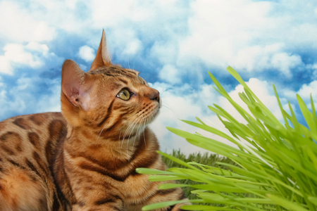 Bengal cat in grass with blue sky and white clouds in background
