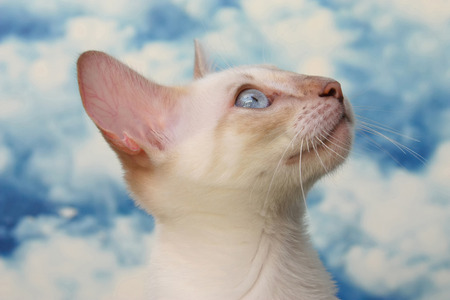 cute young snow bengal cat with blue eyes and white clouds in background