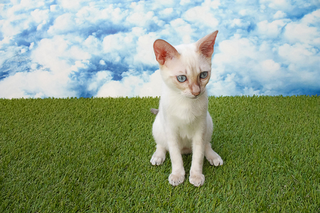 cute young snow bengal cat with blue eyes in a grass with a blue sky with white clouds in background