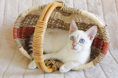 Cute young snow Bengal cat with blue eyes in a basket