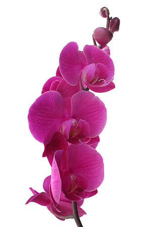 purple orchid isolated on white background Standard-Bild