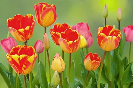 flamed tulips blooming in the garden Standard-Bild