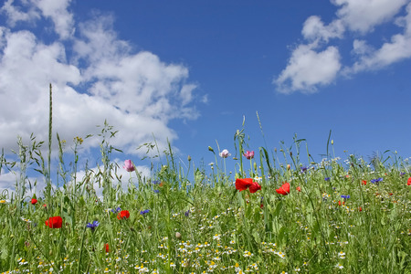 Summer landscape with wildflowers and blue sky with white clouds