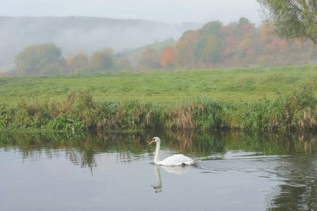 swan floats on a foggy autumn landscape in background