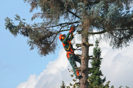 Lumberjack cuts a tree with a chainsaw