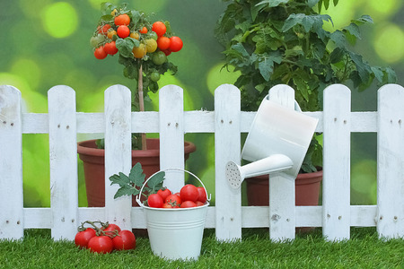 tomatoes in bucket with tomato plants in background and garden decorations Standard-Bild
